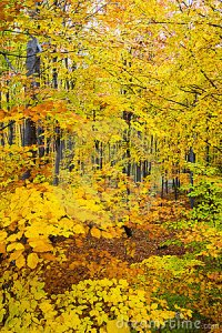 Dense autumn woods